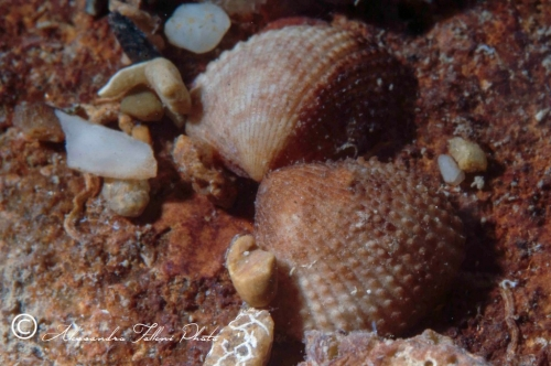 (Bivalvia) Papillicardium papillosum r
