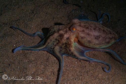 (Cephalopoda) Eledone moscheta r