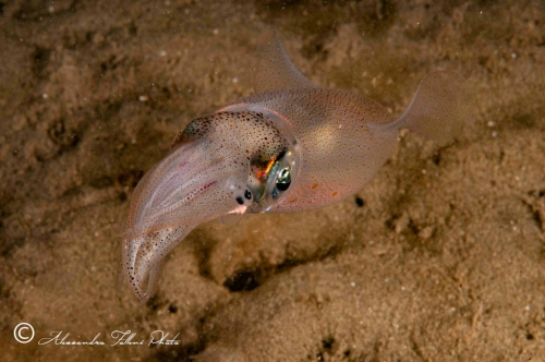 (Cephalopoda) Loligo vulgaris r