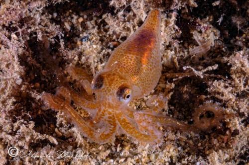 (Cephalopoda) Octopus sp. 2 r