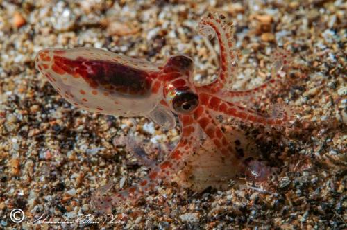(Cephalopoda) Octopus sp. 4 r