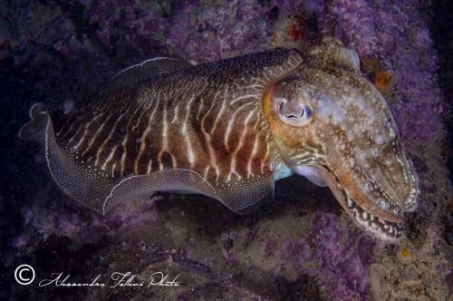 (Cephalopoda) Sepia elegans r