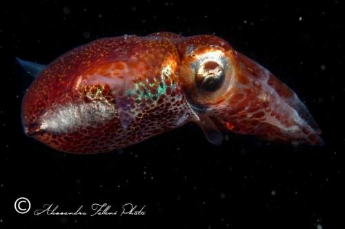 (Cephalopoda) Sepiola affinis r