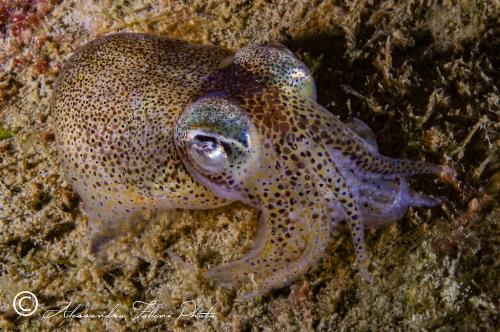 (Cephalopoda) Sepiola ligulata r