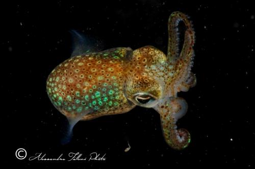 (Cephalopoda) Sepiola sp. 3 r