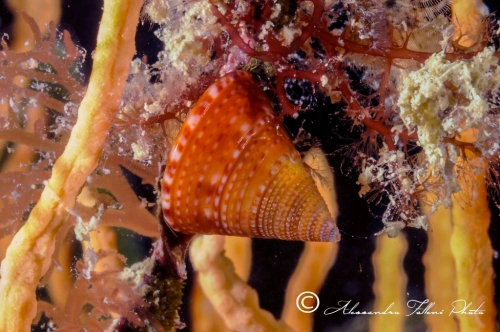 (Conchigliati) Caliostoma sp.2 r