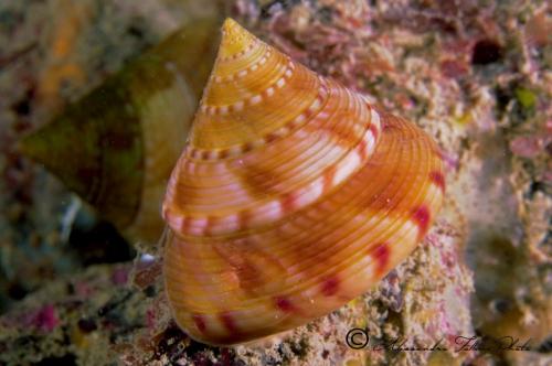 (Conchigliati) Caliostoma sp.3 r