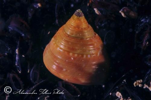 (Conchigliati) Caliostoma sp.4 r