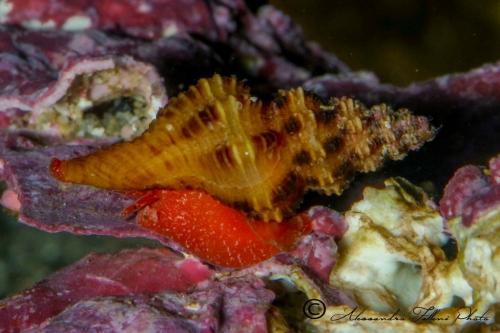 (Conchigliati) Fusinus pulchellus r