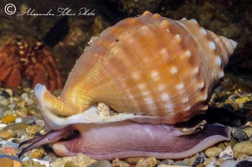 (Conchigliati) Galeodea echinophora r