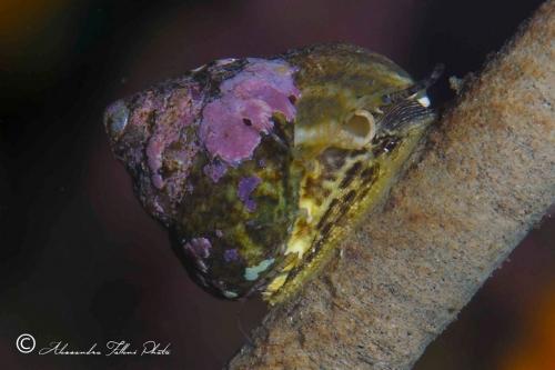 (Conchigliati) Gibbula cfr. adansoni r