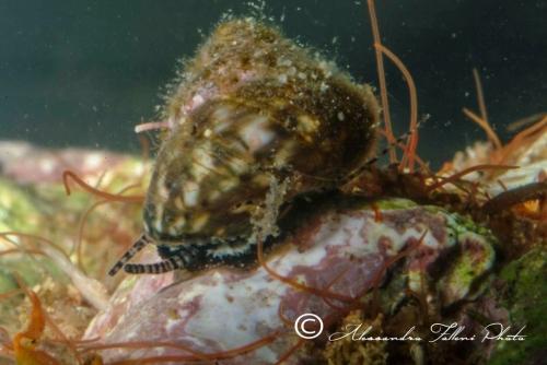 (Conchigliati) Gibbula sp.1 r