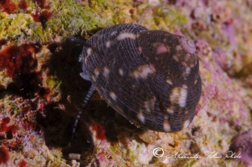 (Conchigliati) Gibbula varia 1 r