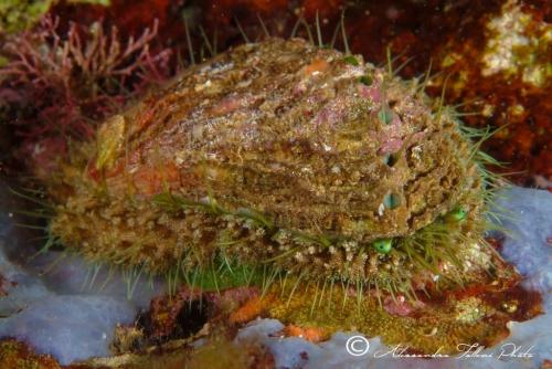 (Conchigliati) Haliotis tuberculata 1 r