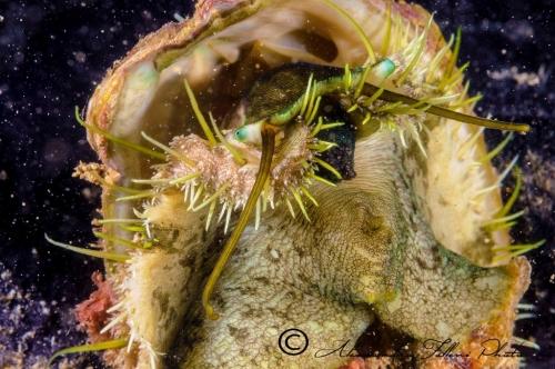 (Conchigliati) Haliotis tuberculata 2 r