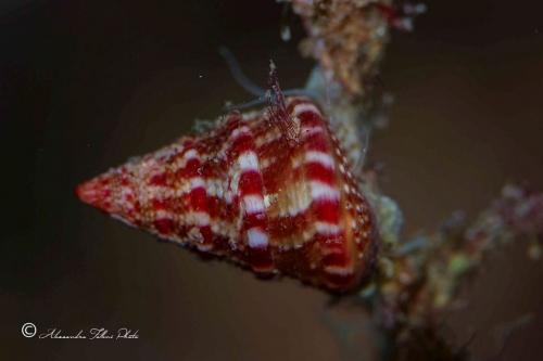 (Conchigliati) Jujubinus exsasperatus 1 r