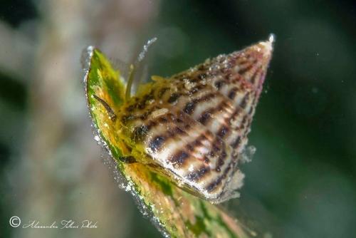 (Conchigliati) Jujubinus striatus r