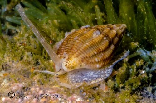 (Conchigliati) Nassarius costulatus cuvierii r