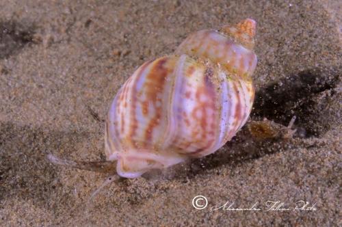 (Conchigliati) Nassarius mutabilis 1 r
