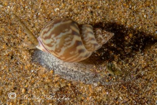 (Conchigliati) Nassarius mutabilis 2 r