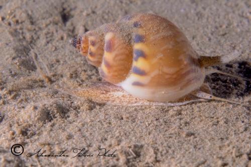 (Conchigliati) Nassarius mutabilis 3 r