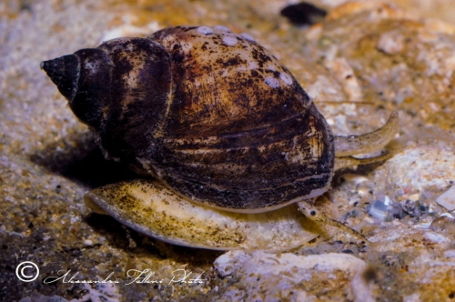 (Conchigliati) Nassarius mutabilis 4 r