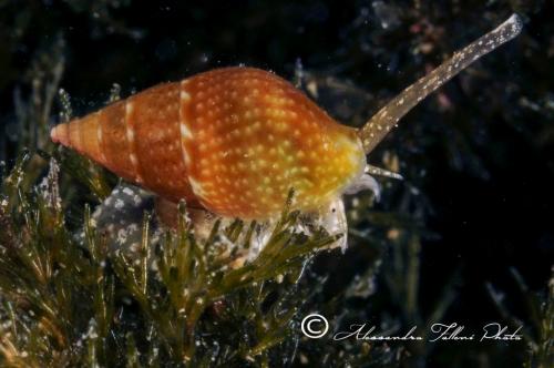 (Conchigliati) Nassarius unifasciatus r
