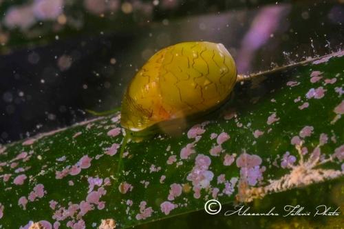 (Conchigliati) Smaragdia viridis 1 r