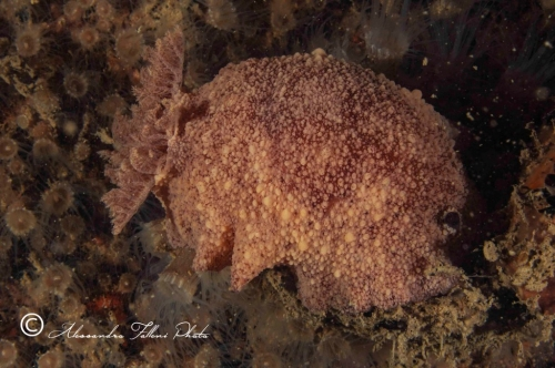 (Opisthobranchia) Archidoris pseudoargus 2r