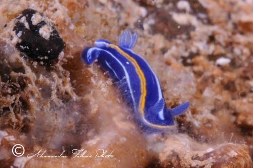 (Opisthobranchia) Hypselodoris sp. r