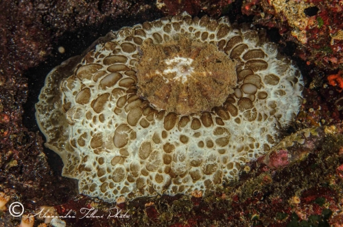 (Opisthobranchia) Umbraculum umbraculum  1 r
