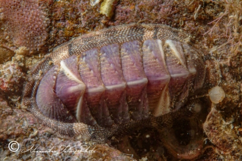 (Polyplacophora) DSCF0035 r