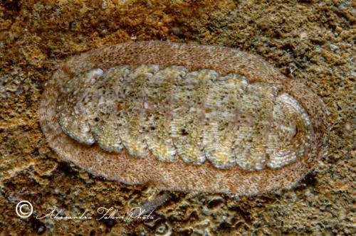 (Polyplacophora) DSCF0153 r