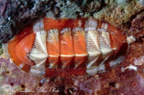 (Polyplacophora) DSCF4886 r