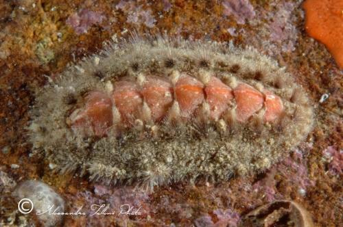 (Polyplacophora) DSCF8862 r