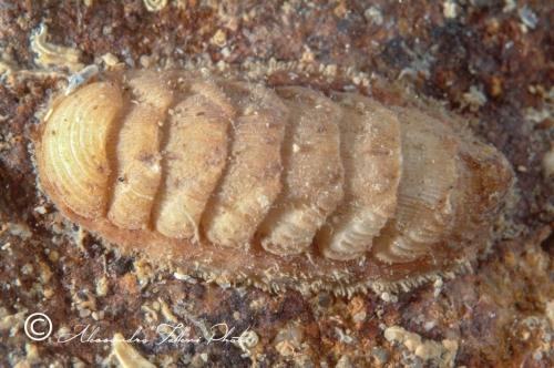 (Polyplacophora) DSCF9890 r