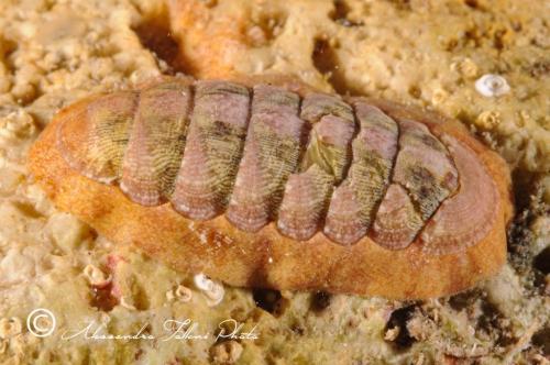 (Polyplacophora) DSC 0617 r