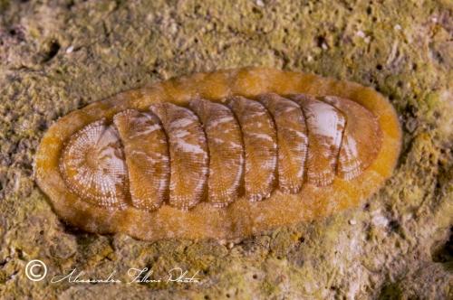 (Polyplacophora) DSC 0739 r