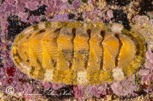 (Polyplacophora) DSC 1574 r