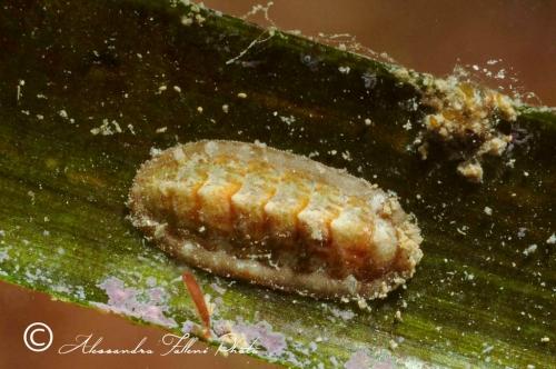 (Polyplacophora) DSC 2759 r