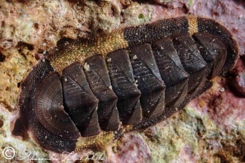 (Polyplacophora) DSC 3237 r
