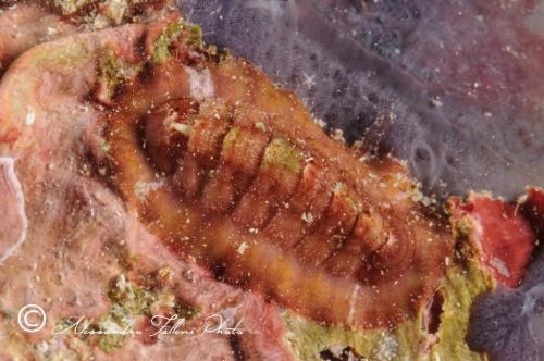 (Polyplacophora) DSC 3532 r