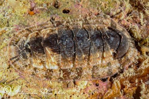 (Polyplacophora) DSC 3700 r