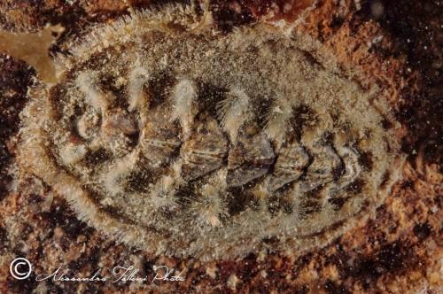 (Polyplacophora) DSC 4966 r