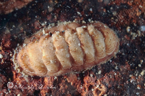 (Polyplacophora) DSC 5364 r