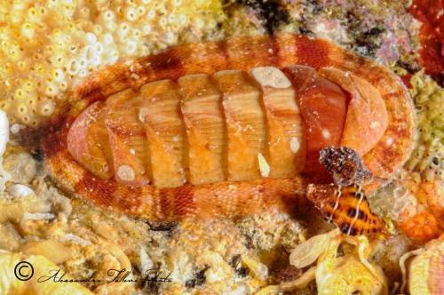 (Polyplacophora) DSC 6221 r