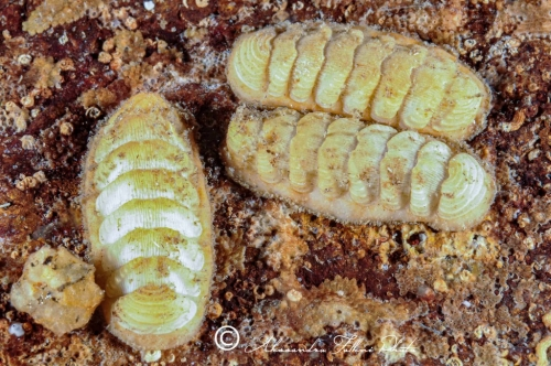 (Polyplacophora) DSC 6245 r
