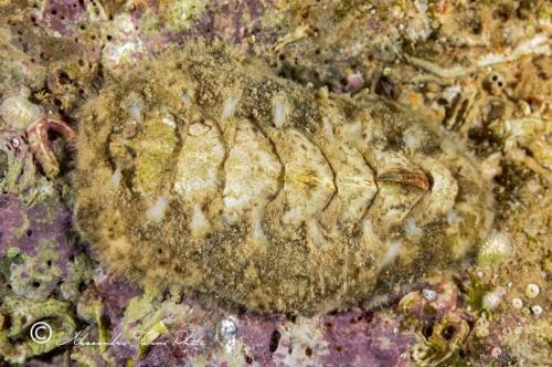 (Polyplacophora) DSC 6888 r