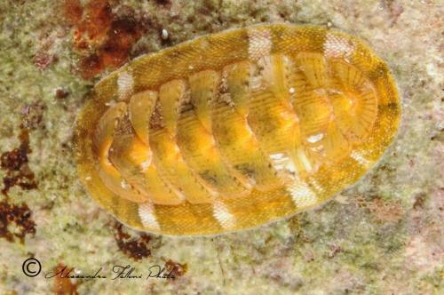 (Polyplacophora) DSC 7649 r