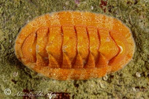 (Polyplacophora) DSC 76741 r